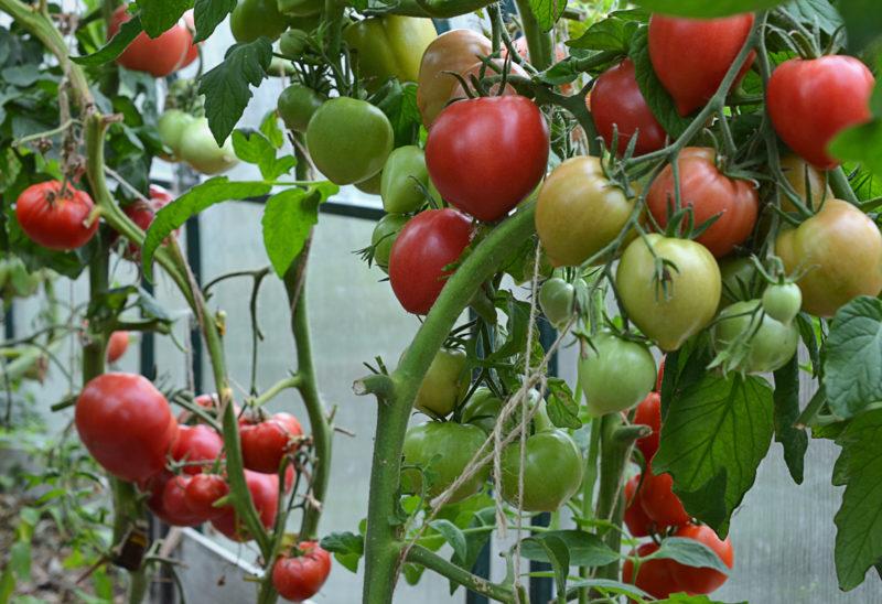 5 помидоров с многоплодными кистями, урожайность которых вас удивит