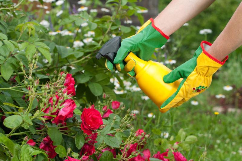 Какие удобрения использовать для розы весной и летом