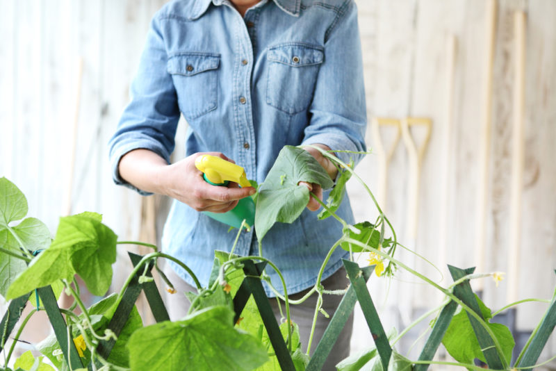 Дешевая и доступная подкормка для Огурцов, которая помогает получить обильный Урожай